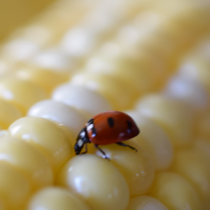 Lady bug on corn